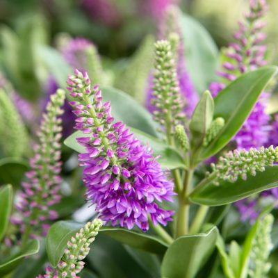 Laatbloeier Hebe brengt kleur en vlinders in je tuin